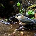 ヤマガラ幼鳥 (3)