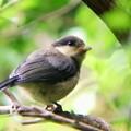 ヤマガラ幼鳥 (4)