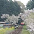Photos: Kominato and cherry tree (1)