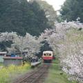 Photos: Kominato and cherry tree (2)