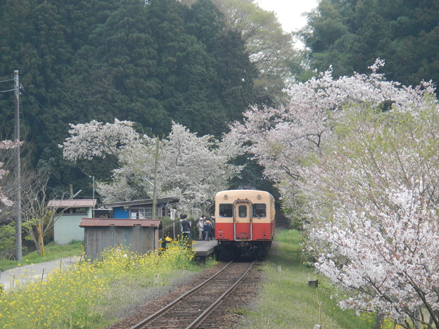Photos: Kominato and cherry tree (3)