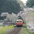 Kominato and cherry tree (3)