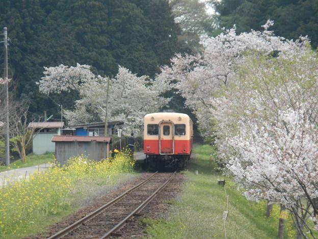 Photos: Kominato and cherry tree (4)