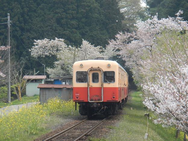 Photos: Kominato and cherry tree (5)