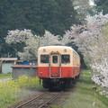 Kominato and cherry tree (5)