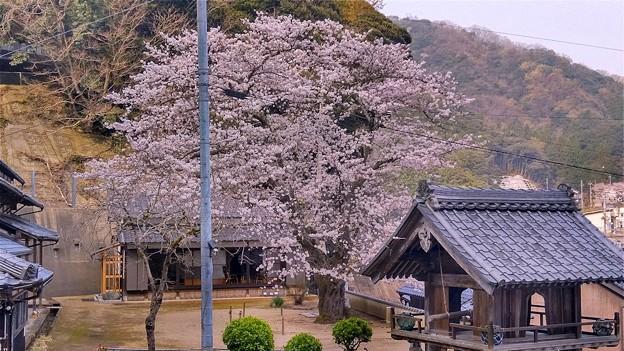 平田山・海蔵寺の桜(1)