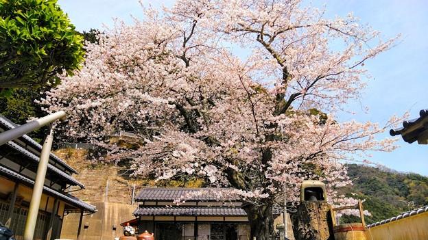平田山・海蔵寺の桜(2)