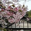 平田山・海蔵寺の桜(3)