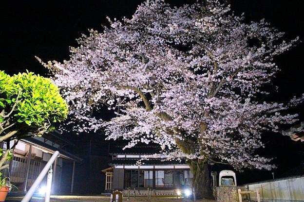 平田山・海蔵寺の桜(5)