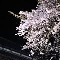 平田山・海蔵寺の桜(6)