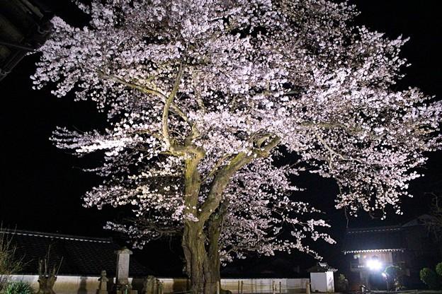平田山・海蔵寺の桜(7)