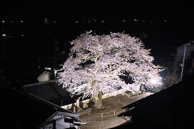 平田山・海蔵寺の桜(8)
