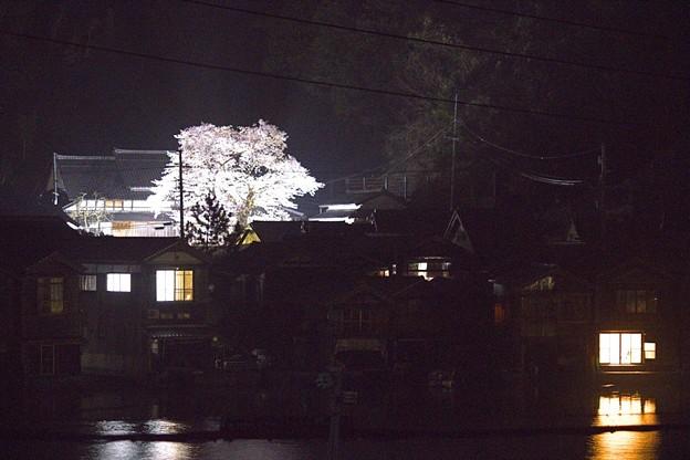平田山・海蔵寺の桜(9)