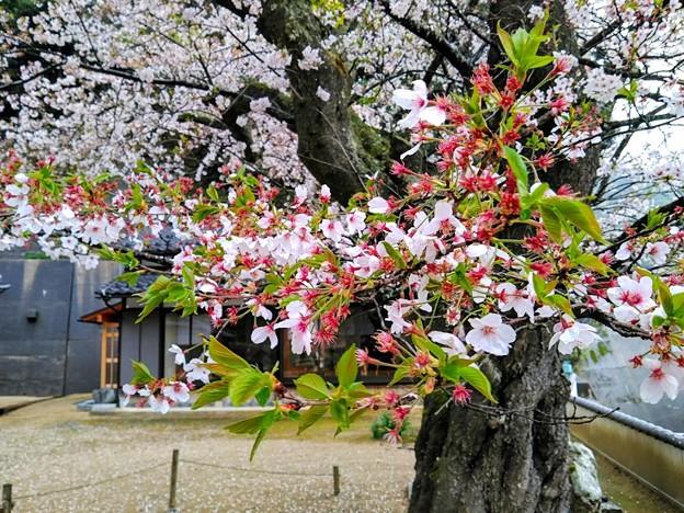 平田山・海蔵寺の桜(10)