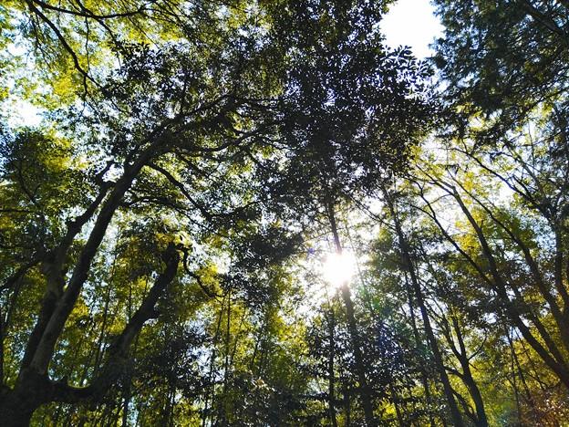 真名井神社の森