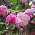 Photos: 花海棠