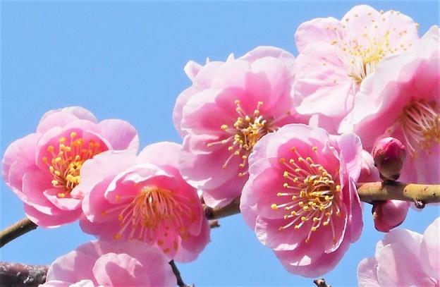 Photos: あでやかに咲く八重の枝垂れ紅梅@備後路