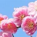 あでやかに咲く八重の枝垂れ紅梅@備後路