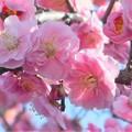 Photos: 八重の枝垂れ紅梅@二月の備後路