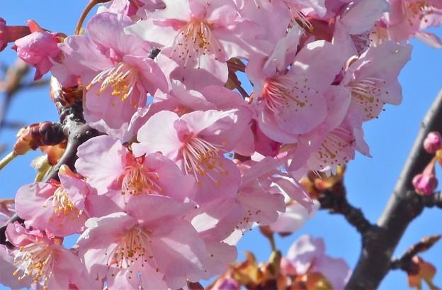 弥生の空に 花びら揺れる@寒緋桜21.3.1