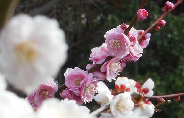 八重の紅梅と白梅@瑠璃山21.3.4