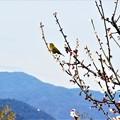 Photos: 見晴らし最高 瑠璃山のウメジロー@山頂梅林21.3.4