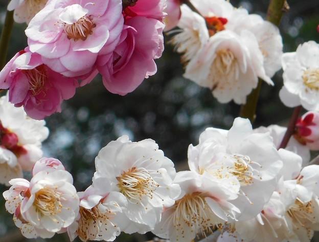 八重の白梅と紅梅@瑠璃山21.3.4