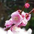 Photos: 瑠璃山の八重の紅梅21.3.4
