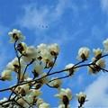 Photos: 青空に咲くハクモクレンの花@トンビ2羽21.3.8