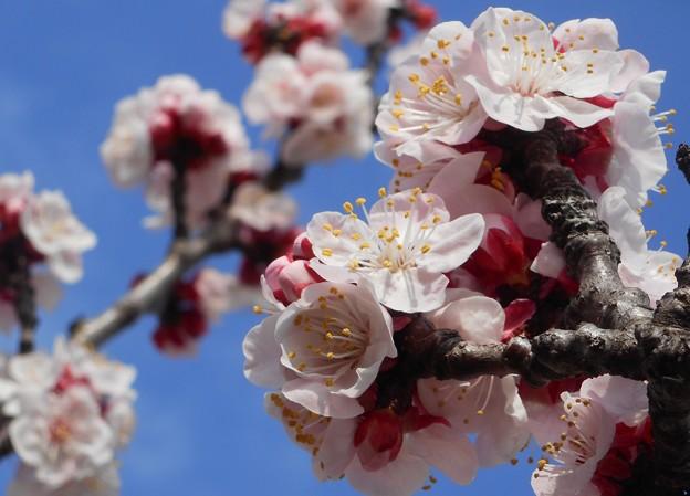 杏子(アンズ)の花@桜並木21.3.8