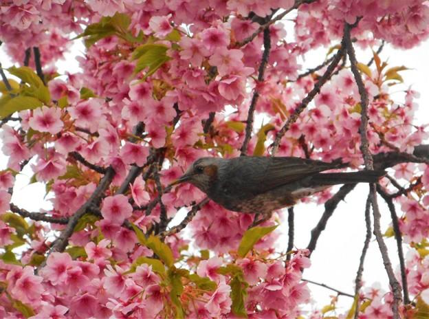 満開の河津桜にヒヨドリくん@海岸通りの桜並木21.3.11