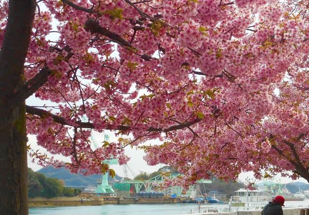 瀬戸内海の春@満開の河津桜の並木道21.3.11