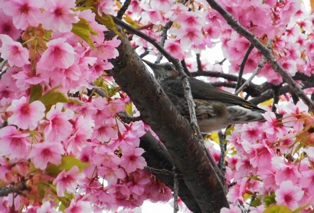 花に埋もれるヒヨドリくん@河津桜21.3.11