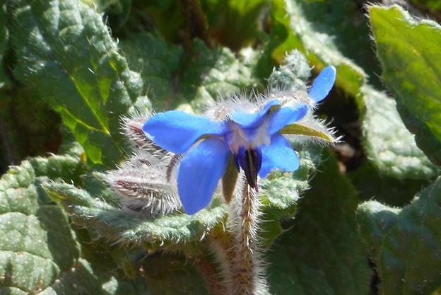 春の野にブルーボリジの花@ハーブ21.3.18