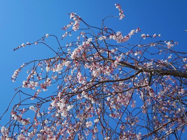 枝垂れ糸桜が見頃@21.3.18