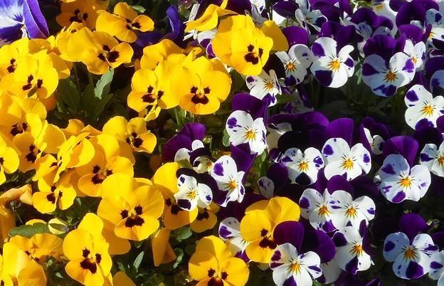 キュートなビオラたちの咲く季節21.3.18
