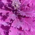 ハボタンの花(蕾)@21.3.17