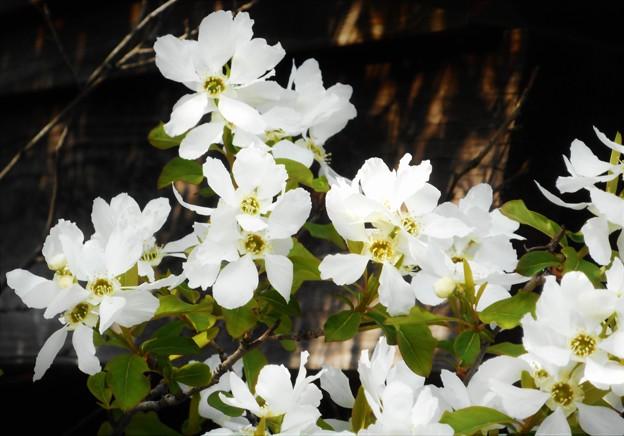 春の木に咲く 白い花@利休梅(リキュウバイ)@バラ科21.3.24