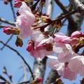 桜並木にチラホラと。