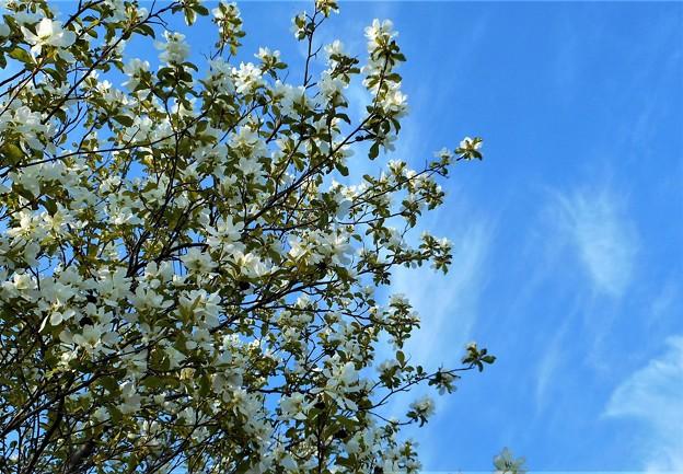 青空に利休梅(リキュウバイ)咲く。