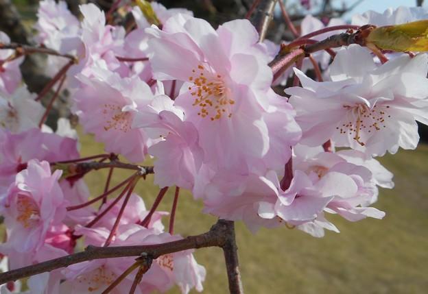 八重の紅枝垂れ桜@21.3.29