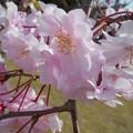 Photos: 八重の紅枝垂れ桜@21.3.29