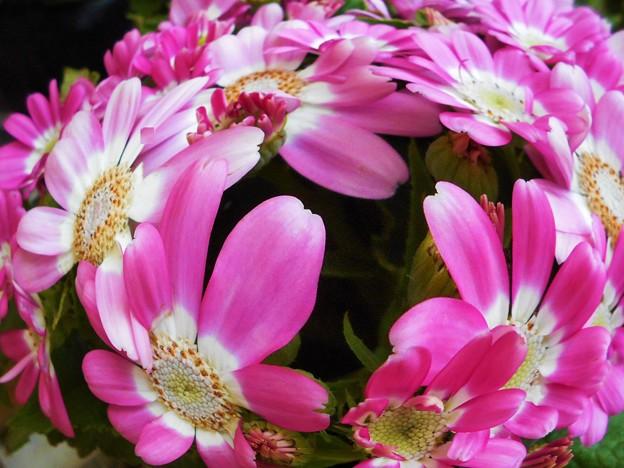 春めく赤い花サイネリア@21.3.29