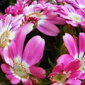 Photos: 春めく赤い花サイネリア@21.3.29