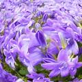 Photos: さわやかに咲く春の花 カンパニュラ@ベルフラワー21.3.29