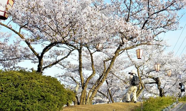 Photos: 桜吹雪けば@海を見下ろす千光寺山@21.3.31