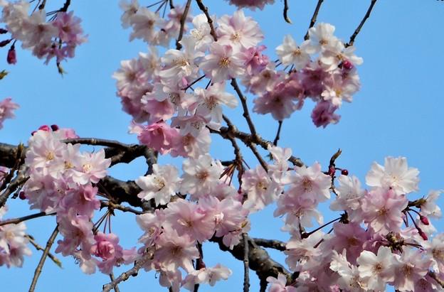 見上げれば 千垂(ちだれ)の桜@千光寺山