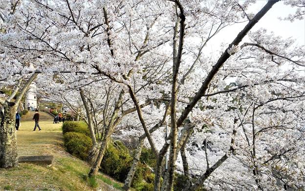 山も谷間も桜吹雪@千光寺山@21.3.31