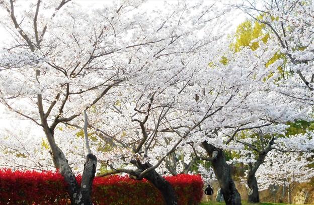 サクラ吹雪く季節@千光寺山21.3.31