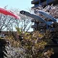 Photos: 桜と鯉のぼり@21.4.5